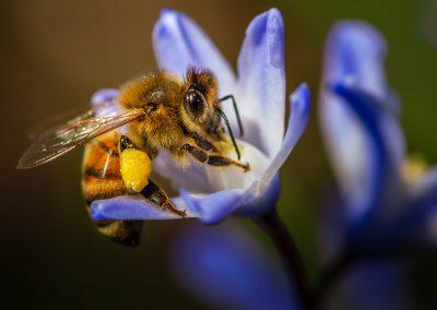 Honeybee20