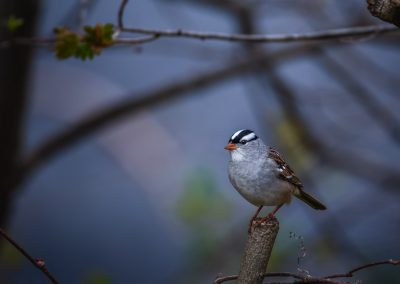 White-crowned Sparrow #2