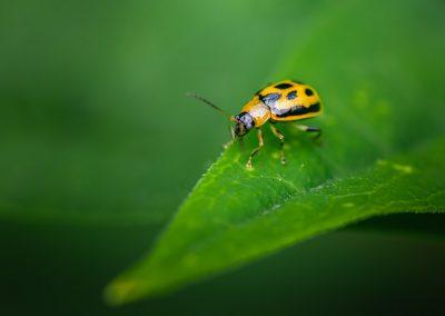 Bean Leaf Beetle (Cerotoma Trifurcata)