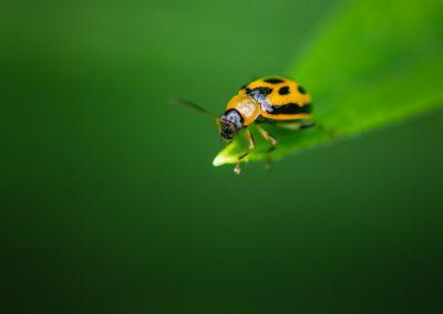 Bean Leaf Beetle (Cerotoma Trifurcata) 02