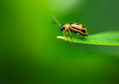 Bean Leaf Beetle (Cerotoma Trifurcata) 03
