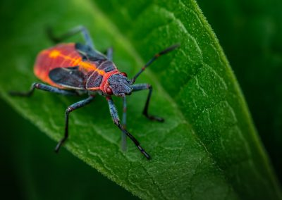 Boxelder Bug Nymph 1
