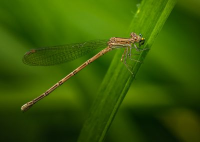 Brown Damselfly (Argia Fumipennis)