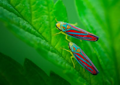 Candy Striped Leaf Hoppers