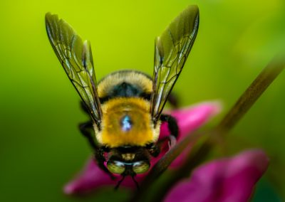 Carpenter Bee 8