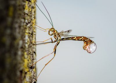 Ichneumon Wasp Laying Eggs