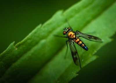 Long Legged Fly 4