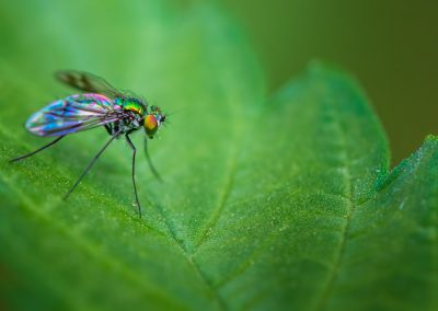 Long Legged Fly 6