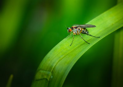 Long Legged Fly 8