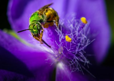Metallic Green Sweat Bee 3