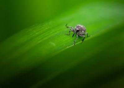 Weevil 7