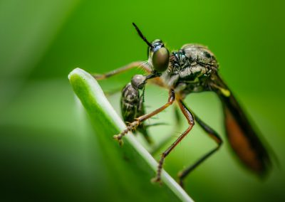 Yellow Legged Robber Fly (Dioctria Linearis)
